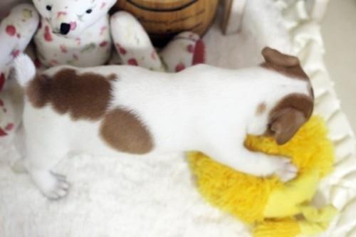 ジャックラッセルテリアの子犬(ID:1255411421)の4枚目の写真/更新日:2018-08-02