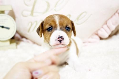 ジャックラッセルテリアの子犬(ID:1255411422)の1枚目の写真/更新日:2018-05-28
