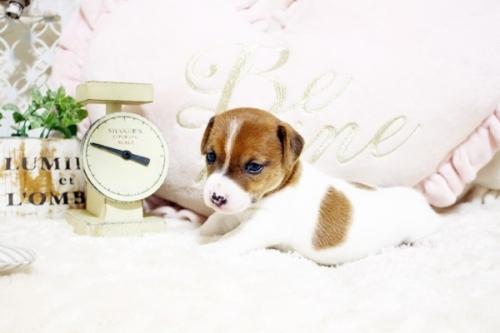 ジャックラッセルテリアの子犬(ID:1255411422)の2枚目の写真/更新日:2018-05-28