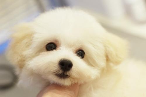 トイプードルの子犬(ID:1255411423)の1枚目の写真/更新日:2019-03-19