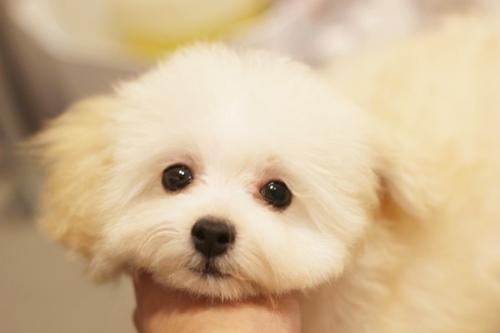 トイプードルの子犬(ID:1255411423)の2枚目の写真/更新日:2019-03-19