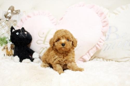 トイプードルの子犬(ID:1255411424)の1枚目の写真/更新日:2019-03-08