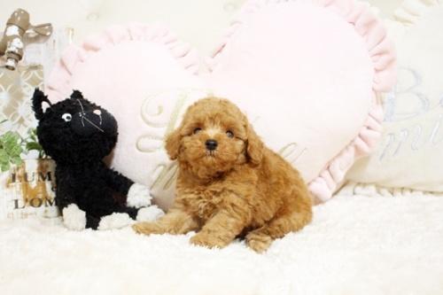 トイプードルの子犬(ID:1255411424)の3枚目の写真/更新日:2019-03-08