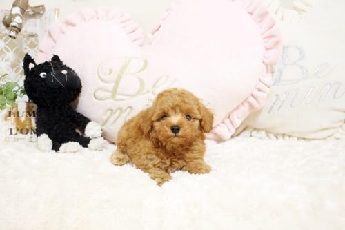 トイプードルの子犬(ID:1255411424)の4枚目の写真/更新日:2021-08-16