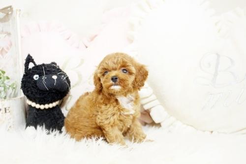 トイプードルの子犬(ID:1255411425)の1枚目の写真/更新日:2019-03-08