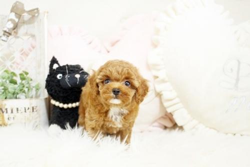 トイプードルの子犬(ID:1255411425)の2枚目の写真/更新日:2019-03-08