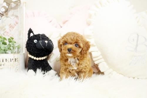 トイプードルの子犬(ID:1255411425)の3枚目の写真/更新日:2019-03-08