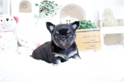 チワワ(スムース)の子犬(ID:1255411430)の1枚目の写真/更新日:2019-01-07