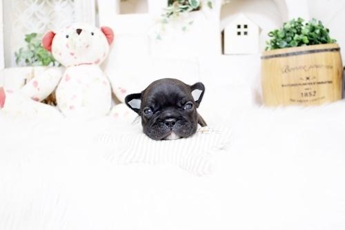 フレンチブルドッグの子犬(ID:1255411434)の1枚目の写真/更新日:2019-05-27