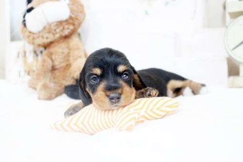 カニンヘンダックスフンド(ワイアー)の子犬(ID:1255411436)の1枚目の写真/更新日:2020-06-05
