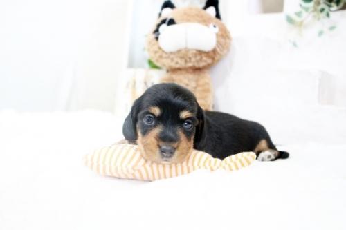 カニンヘンダックスフンド(ワイアー)の子犬(ID:1255411436)の3枚目の写真/更新日:2020-06-05