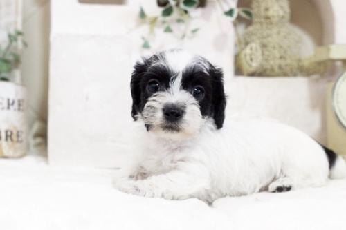 カニンヘンダックスフンド(ワイアー)の子犬(ID:1255411438)の1枚目の写真/更新日:2021-02-27