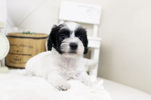 カニンヘンダックスフンド(ワイアー)の子犬(ID:1255411438)の2枚目の写真/更新日:2021-02-27