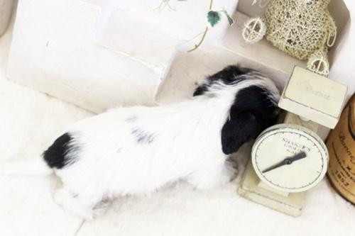 カニンヘンダックスフンド(ワイアー)の子犬(ID:1255411438)の3枚目の写真/更新日:2021-02-27