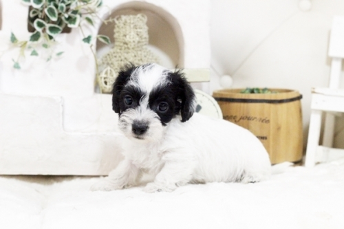 カニンヘンダックスフンド(ワイアー)の子犬(ID:1255411438)の4枚目の写真/更新日:2021-02-27