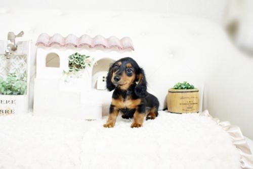 カニンヘンダックスフンド(ワイアー)の子犬(ID:1255411439)の1枚目の写真/更新日:2021-02-27
