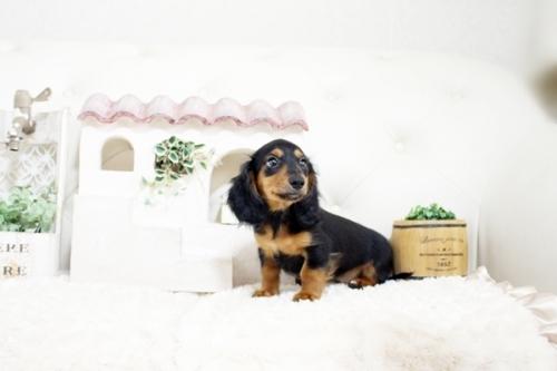 カニンヘンダックスフンド(ワイアー)の子犬(ID:1255411439)の2枚目の写真/更新日:2021-02-27
