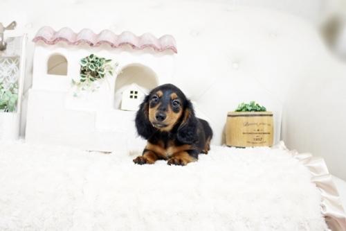 カニンヘンダックスフンド(ワイアー)の子犬(ID:1255411439)の3枚目の写真/更新日:2021-02-27
