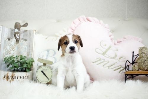 ジャックラッセルテリアの子犬(ID:1255411440)の1枚目の写真/更新日:2018-08-02