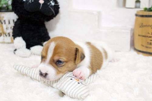 ジャックラッセルテリアの子犬(ID:1255411441)の2枚目の写真/更新日:2020-01-07