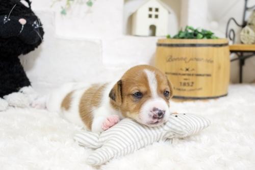 ジャックラッセルテリアの子犬(ID:1255411441)の3枚目の写真/更新日:2020-01-07