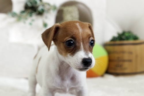 ジャックラッセルテリアの子犬(ID:1255411442)の2枚目の写真/更新日:2020-09-26