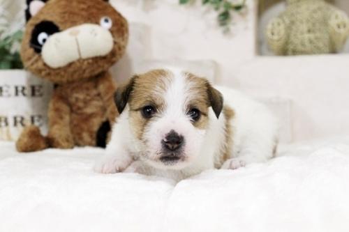 ジャックラッセルテリアの子犬(ID:1255411443)の2枚目の写真/更新日:2018-09-19