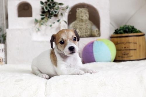 ジャックラッセルテリアの子犬(ID:1255411444)の1枚目の写真/更新日:2018-09-19