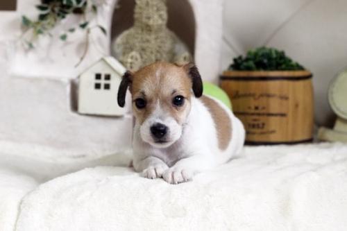 ジャックラッセルテリアの子犬(ID:1255411444)の2枚目の写真/更新日:2018-09-19