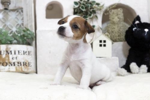 ジャックラッセルテリアの子犬(ID:1255411445)の1枚目の写真/更新日:2018-10-12
