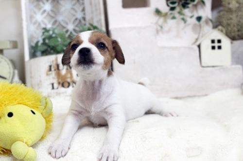 ジャックラッセルテリアの子犬(ID:1255411445)の2枚目の写真/更新日:2018-10-12