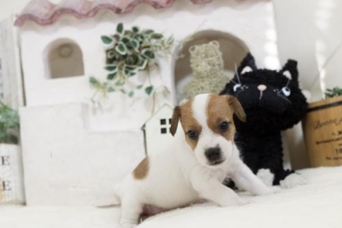 ジャックラッセルテリアの子犬(ID:1255411445)の3枚目の写真/更新日:2018-10-12