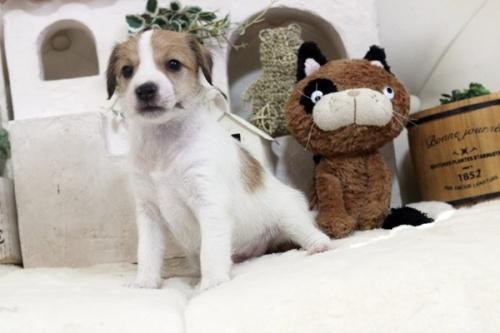 ジャックラッセルテリアの子犬(ID:1255411446)の1枚目の写真/更新日:2018-10-12