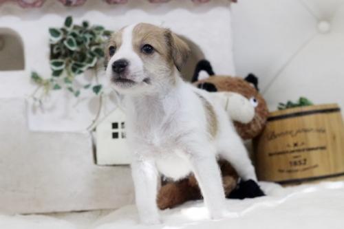 ジャックラッセルテリアの子犬(ID:1255411446)の2枚目の写真/更新日:2018-10-12