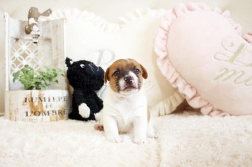 ジャックラッセルテリアの子犬(ID:1255411447)の1枚目の写真/更新日:2018-11-09