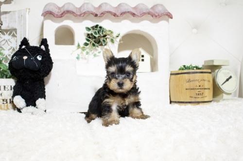 ヨークシャーテリアの子犬(ID:1255411448)の1枚目の写真/更新日:2021-08-16