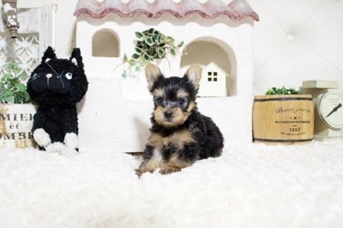 ヨークシャーテリアの子犬(ID:1255411448)の2枚目の写真/更新日:2021-08-16
