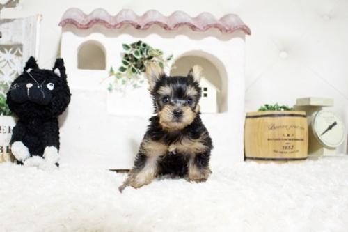 ヨークシャーテリアの子犬(ID:1255411448)の3枚目の写真/更新日:2021-08-16