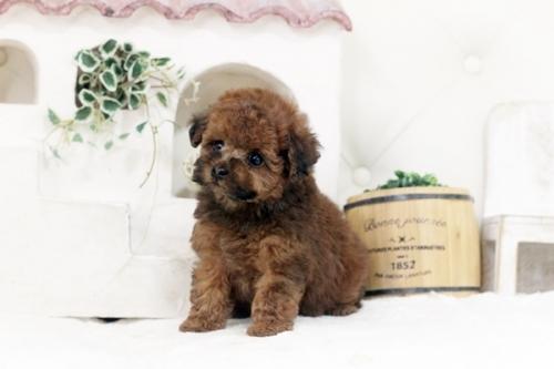 トイプードルの子犬(ID:1255411452)の1枚目の写真/更新日:2019-03-08