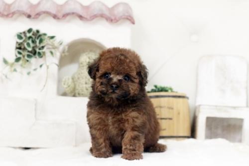 トイプードルの子犬(ID:1255411452)の2枚目の写真/更新日:2019-03-08