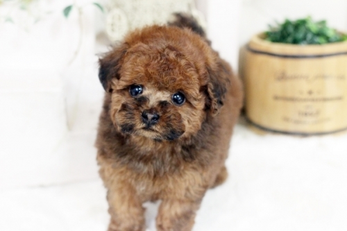 トイプードルの子犬(ID:1255411452)の3枚目の写真/更新日:2019-03-08
