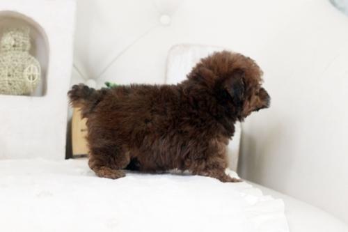 トイプードルの子犬(ID:1255411452)の4枚目の写真/更新日:2021-01-11