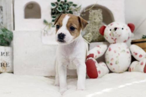ジャックラッセルテリアの子犬(ID:1255411456)の1枚目の写真/更新日:2018-11-09