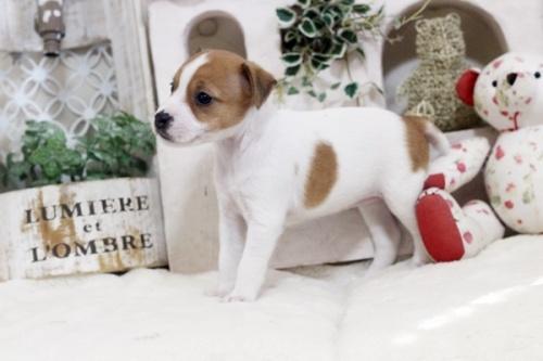 ジャックラッセルテリアの子犬(ID:1255411456)の2枚目の写真/更新日:2018-11-09