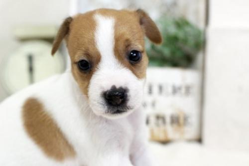 ジャックラッセルテリアの子犬(ID:1255411456)の3枚目の写真/更新日:2018-11-09