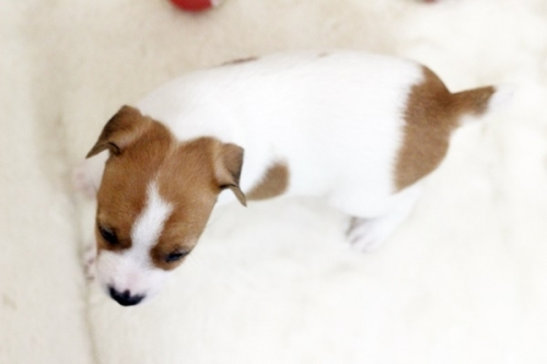 ジャックラッセルテリアの子犬(ID:1255411456)の4枚目の写真/更新日:2018-11-09