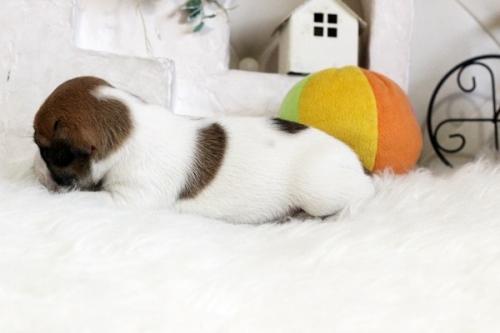 ジャックラッセルテリアの子犬(ID:1255411464)の2枚目の写真/更新日:2018-12-30