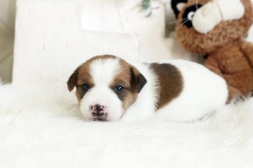 ジャックラッセルテリアの子犬(ID:1255411465)の2枚目の写真/更新日:2020-05-13