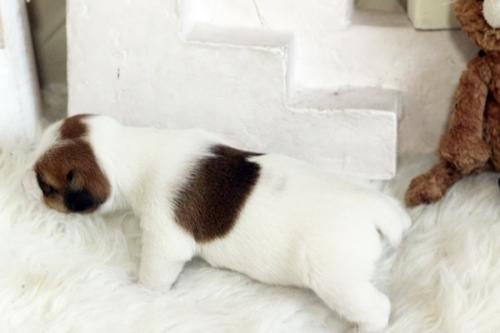 ジャックラッセルテリアの子犬(ID:1255411465)の3枚目の写真/更新日:2018-12-30