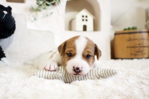 ジャックラッセルテリアの子犬(ID:1255411466)の1枚目の写真/更新日:2018-12-30